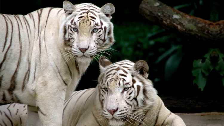 delhi-zoo-white-tiger-from-lucknow-zoo-news-dkoding