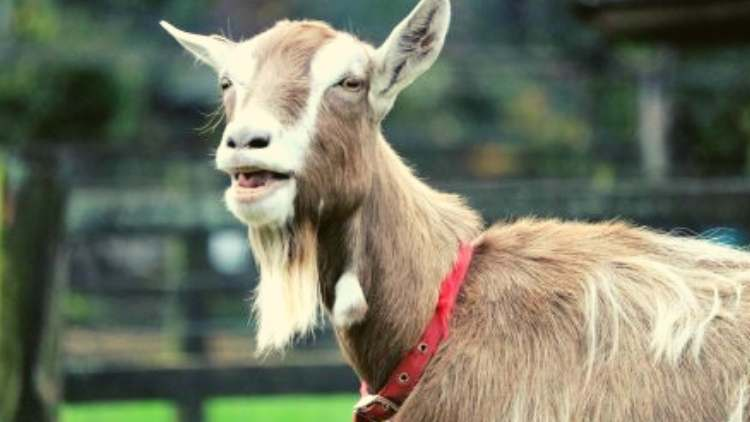 Lincoln-goat-elected-mayor-town-features-DKODING