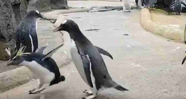 Penguin-Happy-Feet-Dancing-Trending-Today-DKODING