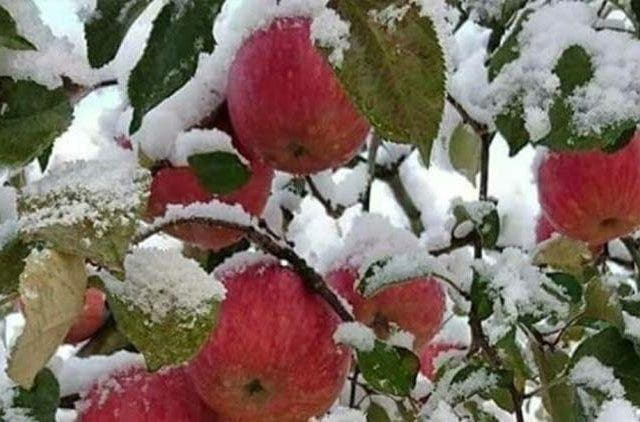 Apple harvest suffers due to snowfall in Shopian, Pulwama