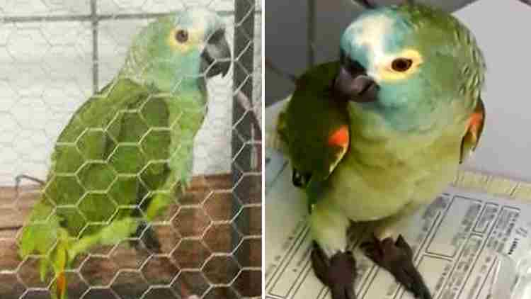 Brazilian-Parrot-Drug-Lord-Arrested-Features-DKODING