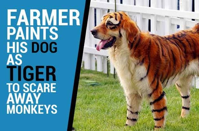 Farmer-paints-his-dog-as-tiger-Videos-DKODING