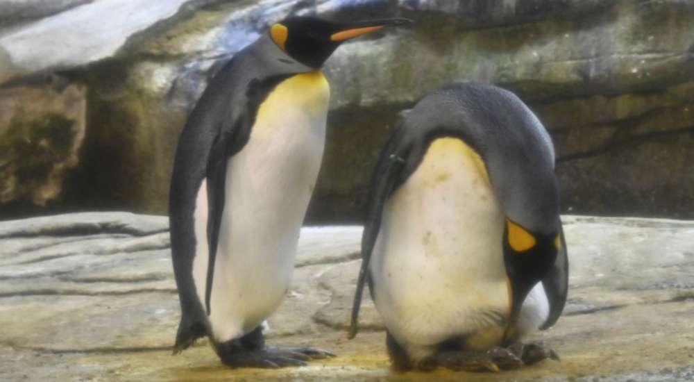 Skipper and Ping incubating their adopted penguins egg   NewsShot   DKODING