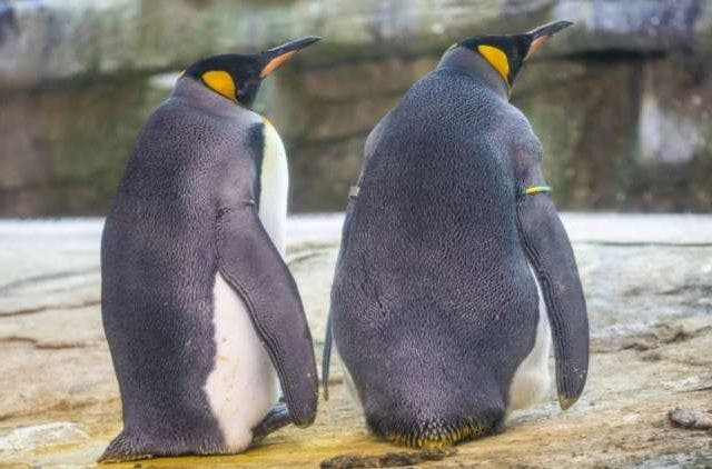 Germany-Penguin-Gay-Couple-Newsshot-DKODING