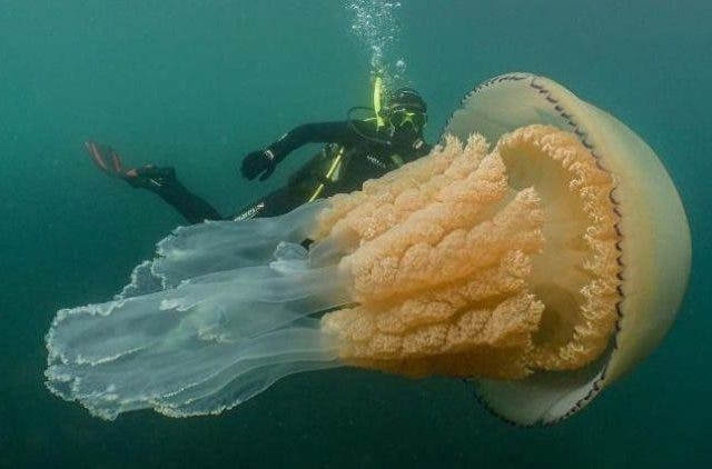 Great-Giant-Jellyfish-More-Stories-DKODING
