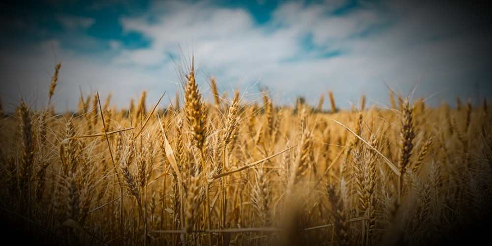 India To Gift Of Wheat To Afghanistan Global DKODING