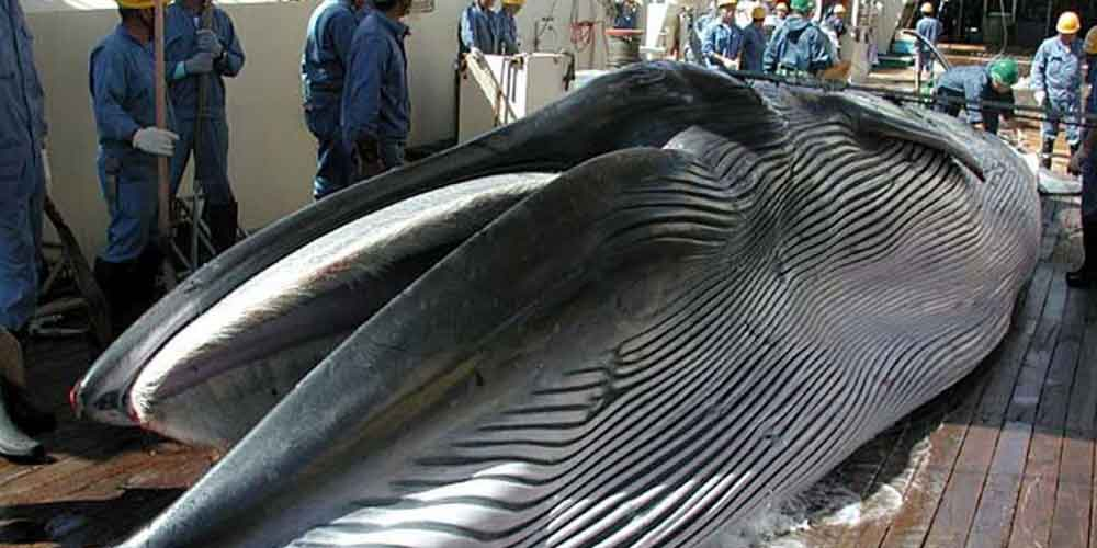 Japan-resumes-commercial-whaling-Beginning-of-the-end