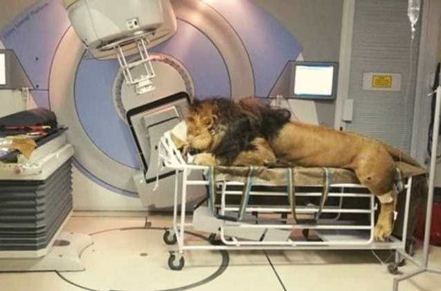 Lion-Radiation-Therapy-Features-DKODING