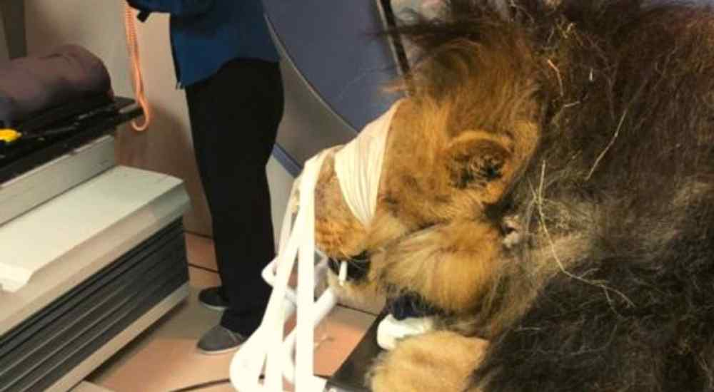 Lion-Skin-Cancer-Treatment-Features-DKODING