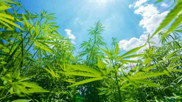 Madhya-Pradesh-Legalise-Cannabis-Cultivation-More-News-DKODING
