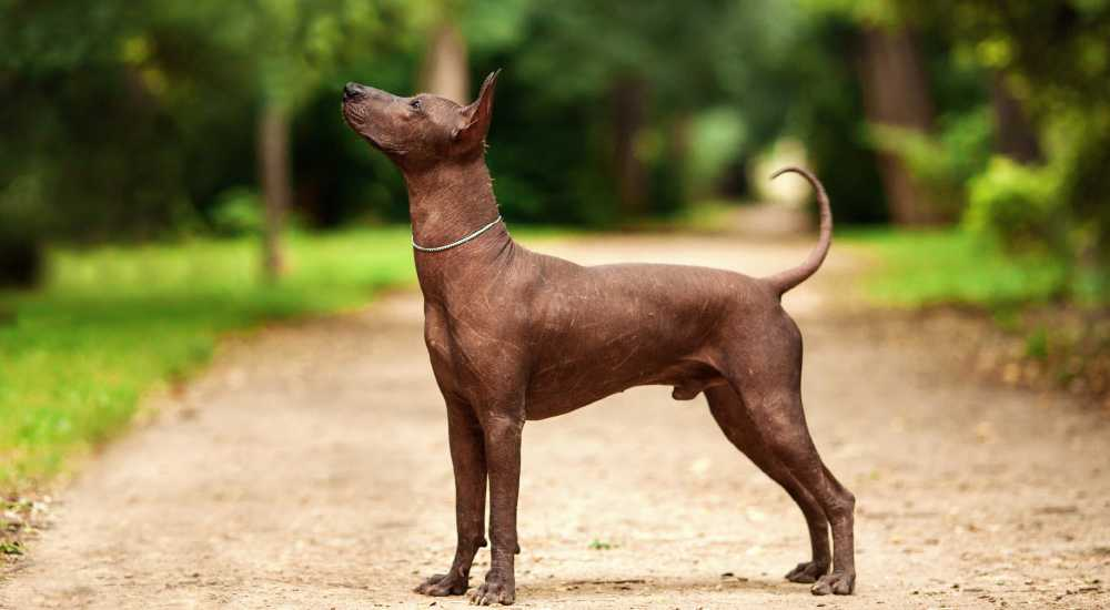 Mexican Hairless Dog | NewsShot | DKODING