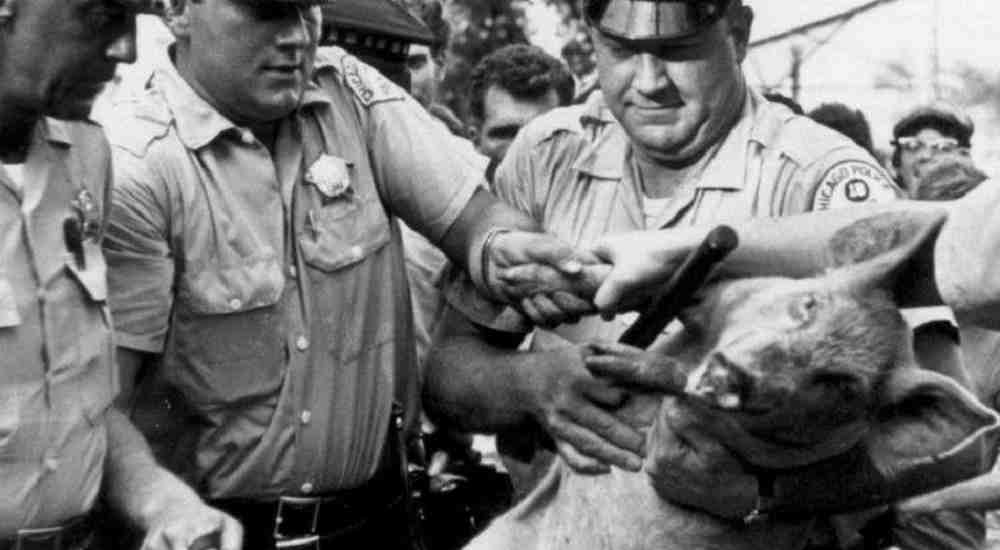 This is how the hog Pigasus was arrested