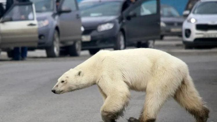 Polar-Bear-Spotted-More-Stories-DKODING