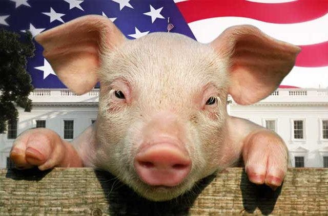 Pig-For-American-Presidency-NewsShot-DKODING