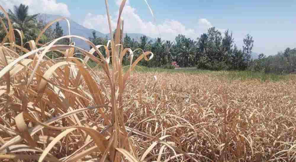 Drought Affected Sugarcane field